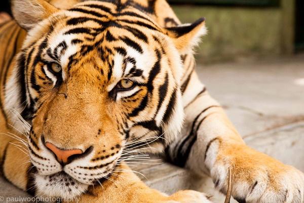 Tiger Kingdom Phuket - Alex Taxi Phuket