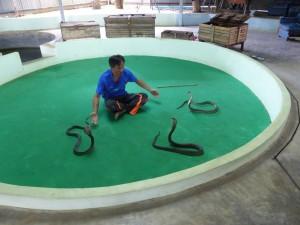 phuket-cobra-show-and (2)